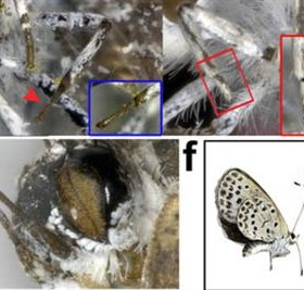 Se detectan mariposas mutantes en Japón por las fugas nucleares de Fukushima