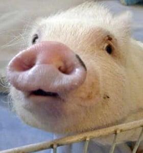 """Japón: debaten posible """"cultivo"""" de órganos humanos en animales"""