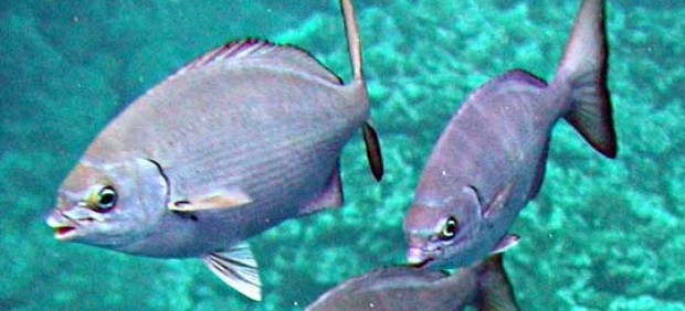 Detectan alto nivel de radiación en pez cerca de Fukushima