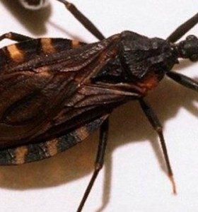 Prueban de manera exitosa una vacuna experimental contra el mal de Chagas