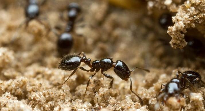 Las hormigas, ¿base de futuros antibióticos?