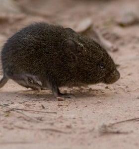 Cómo es el ratón calilargo, el roedor que contagia el hantavirus