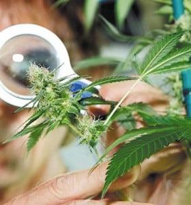 Cannabis, entre mito y paradigma