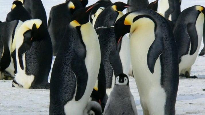 Descubren fósiles de un pingüino gigante