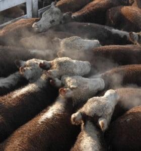 Prevén una mayor oferta de carne vacuna y caída de precios en los próximos meses