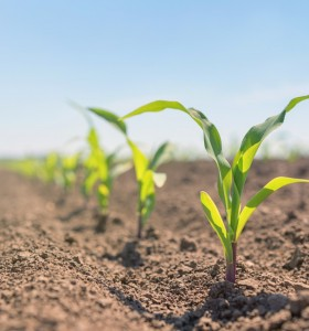 Comienza una nueva campaña de maíz, clave para el agro y la Argentina